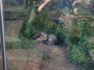 Bat-eared foxes from the African continent. They are quite cute.