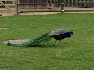 Mr. Peacock, strutting his stuff.