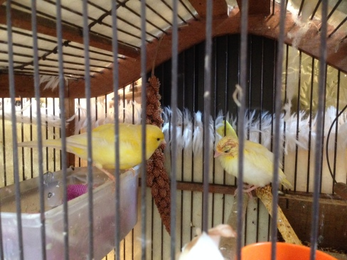 Cute little canaries outside an old shop! My friend reckoned the one on the right must be a chick (or otherwise a very, very sick canary).